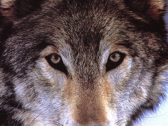 Expressions avec le mot loup.