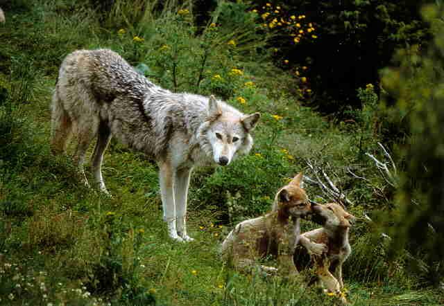Le loup - Page 2 Nfepe9xk