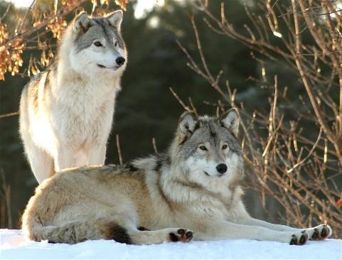La morphologie du loup